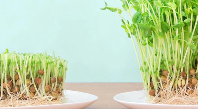 こうすれば上手くいく! 豆苗の再生栽培のコツとおすすめレシピ
