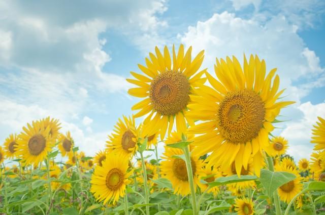 夏を代表する花、ひまわりを子どもと一緒に身近なもので工作してみよう♪