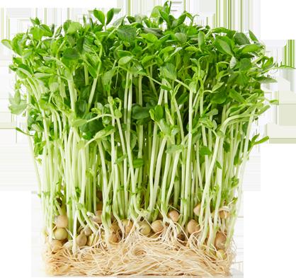 自宅で再生可能♪栄養豊富な豆苗をもっとたくさん食べるレシピ!