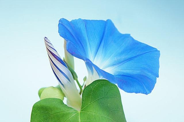 夏の風物詩!伝統の花、朝顔の工作